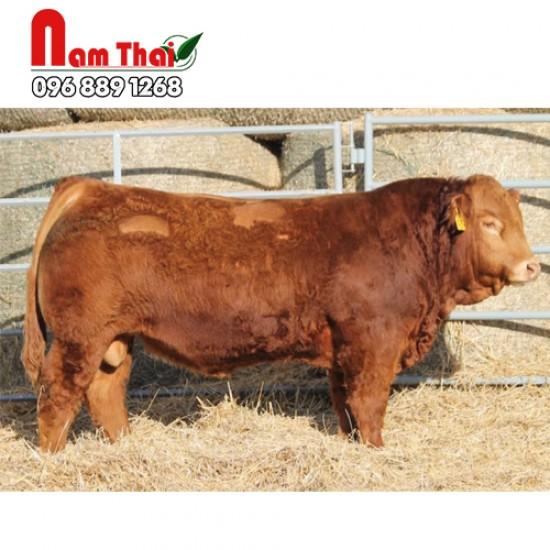 Tinh bò thịt Limousine Granite 57C