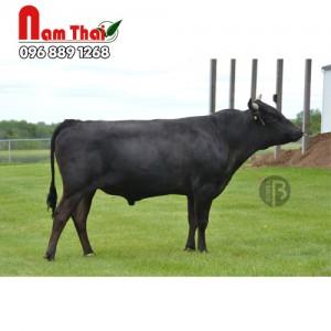 Tinh bò thịt wagyu - NISHIKU