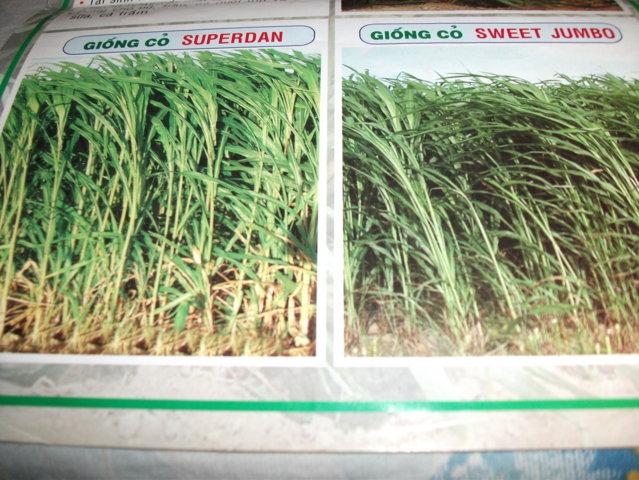 hạt cỏ giống tại nghệ an